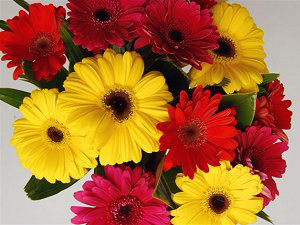 gerbera sensation - get well flowers